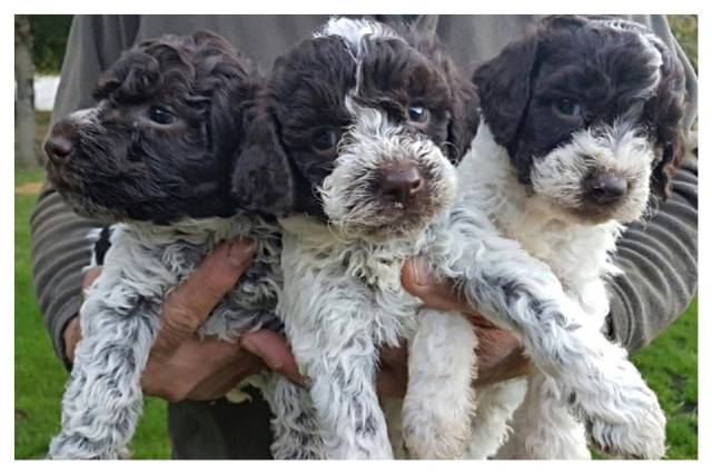 available lagotto romagnolo puppies welcome to amico roma puppies